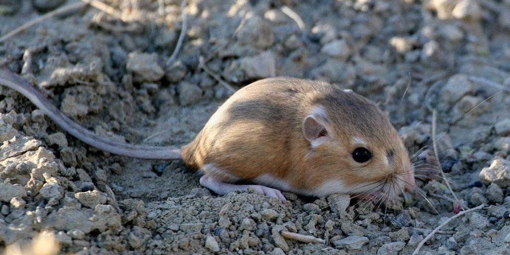Кенгуровые крысы