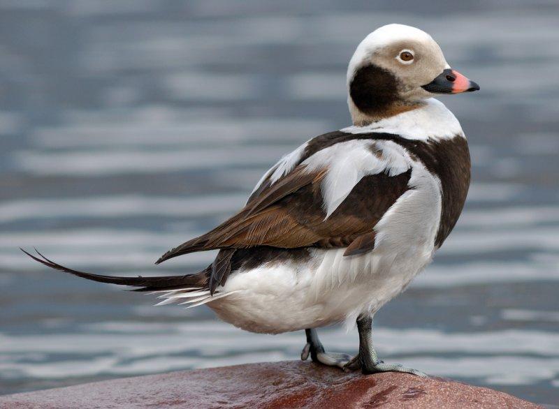 Длиннохвостая утка