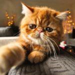 Список лучших экзотических пород кошек