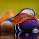 10 самых красивых и необычных уток в мире