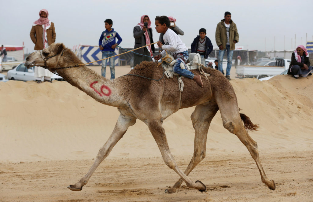 Верблюды могут бежать со скоростью до 40 миль в час