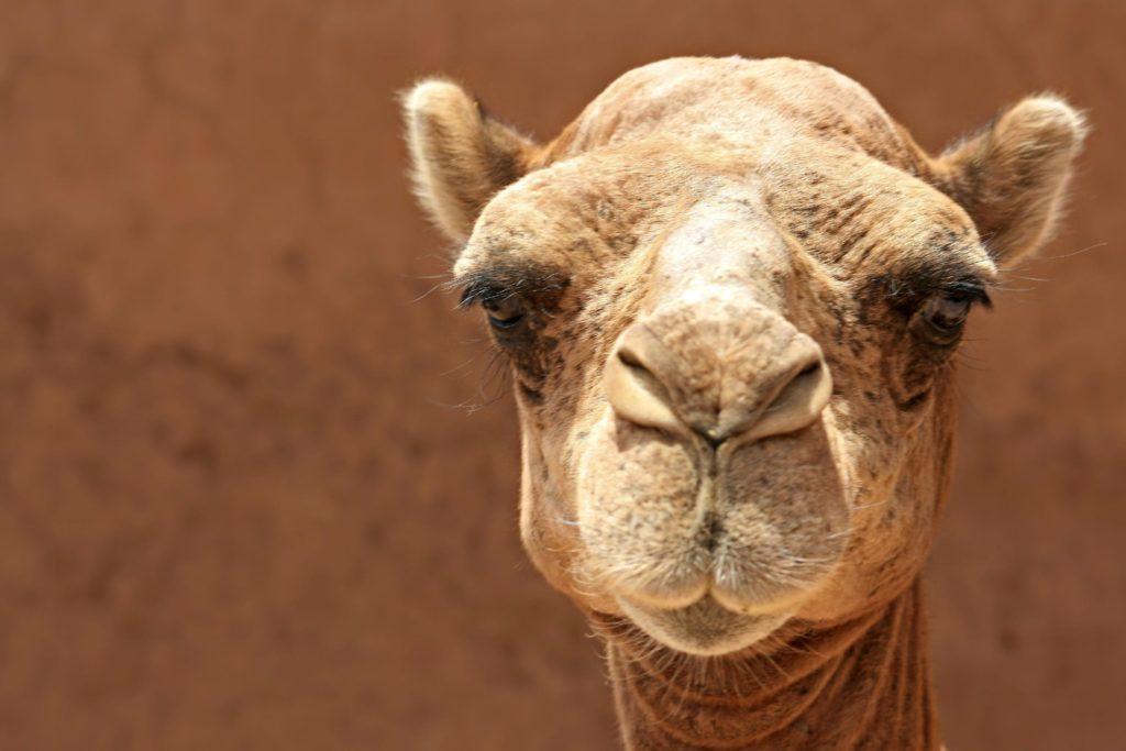 Верблюжьи уши