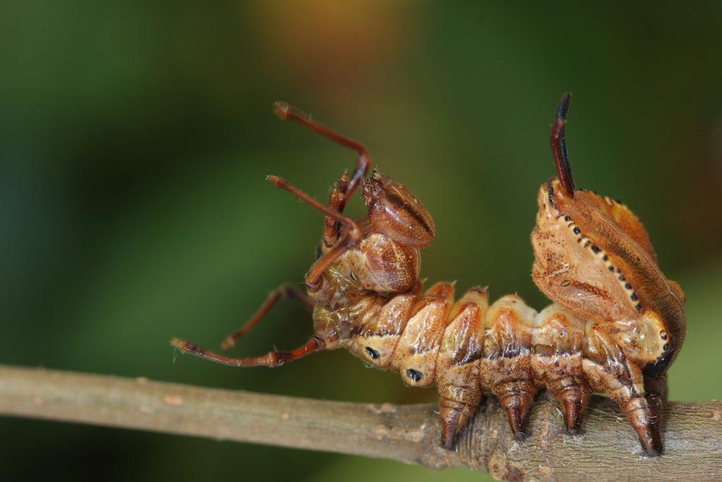 Вилохвост буковый (Lobster Moth Caterpillar)