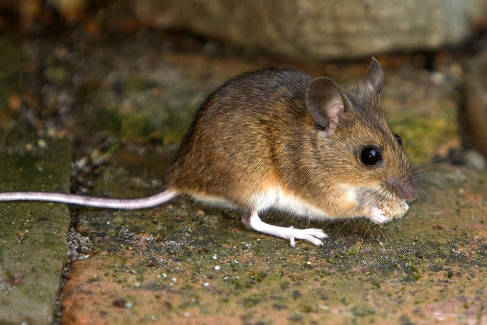 Домовая мышь