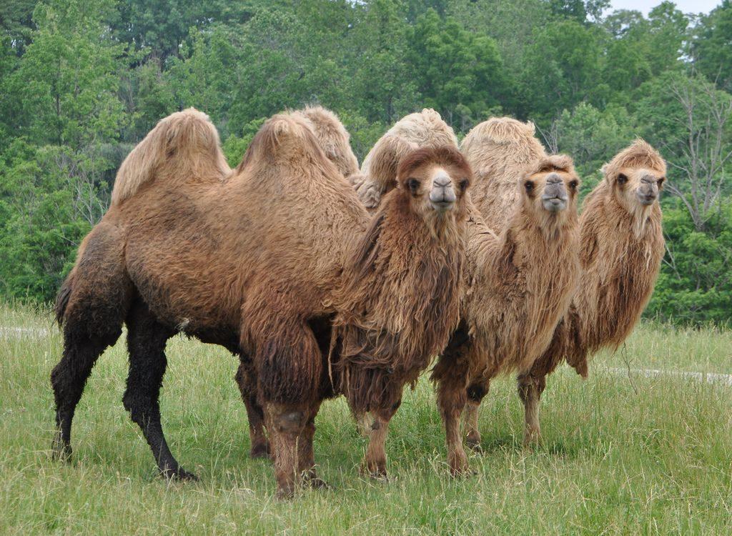 верблюды с густым мехом