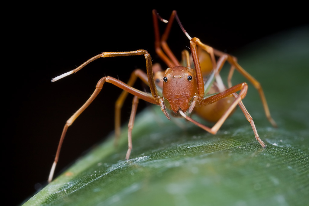 Пауки-муравьи