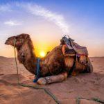 Интересные Факты О Верблюдах