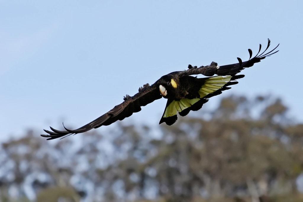 Желтохвостый черный какаду