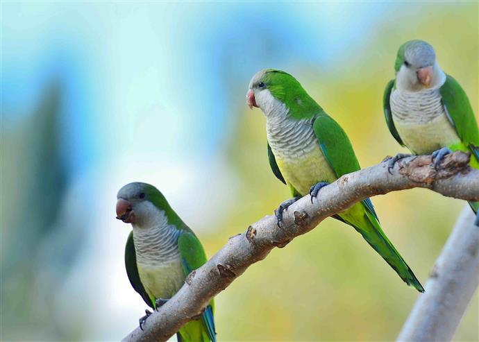 Квакерские попугаи