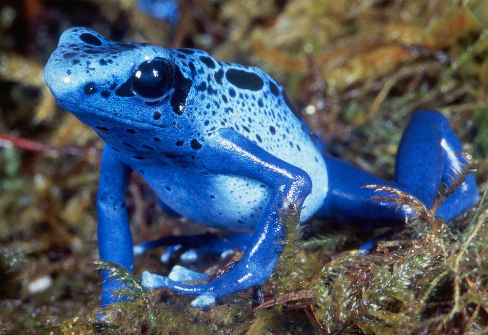 Голубая ядовитая дротиковая лягушка