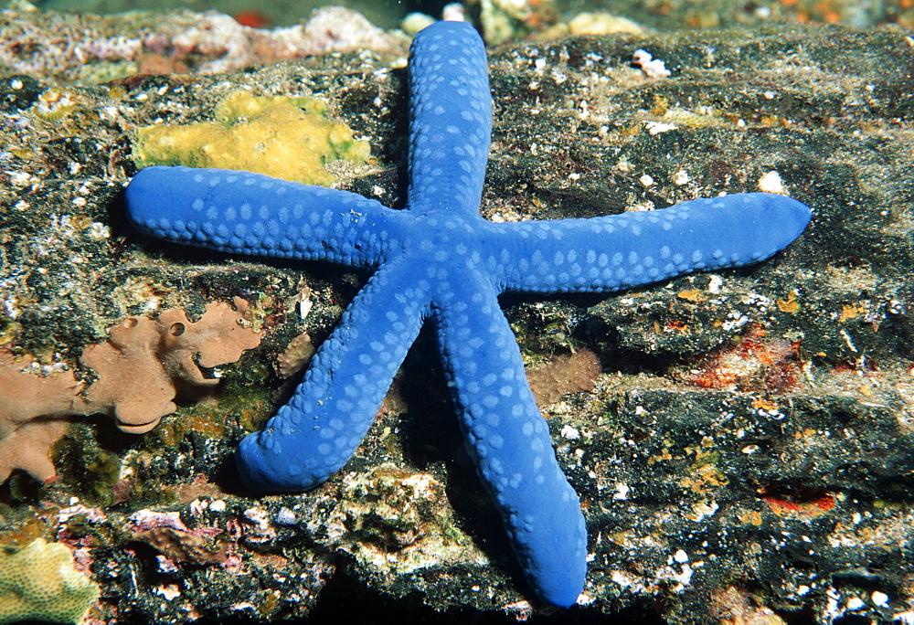Голубые морские звезды