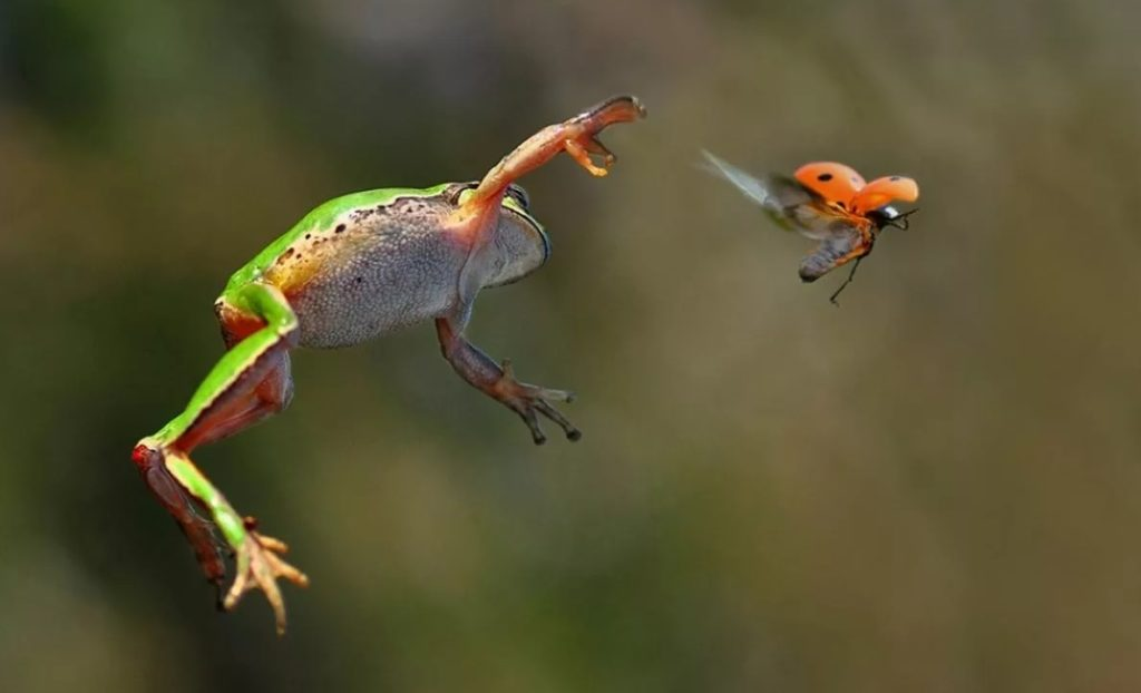Лягушки едят насекомых
