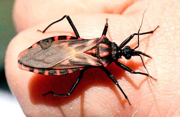 Поцелуйный Клоп (Kissing Bug)