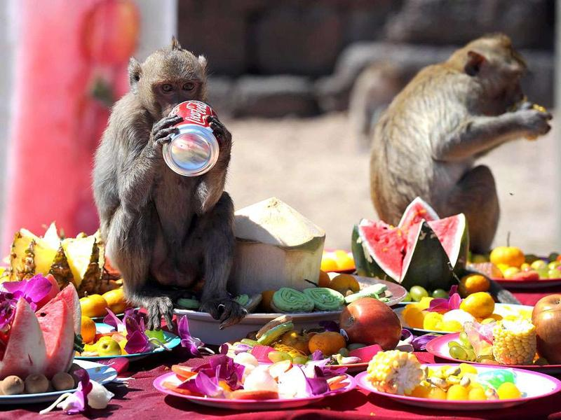 «Шведский стол» для обезьян