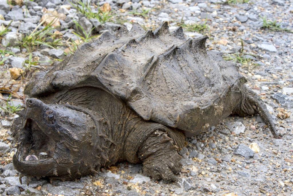 Грифовая черепаха (Alligator snapping turtl)