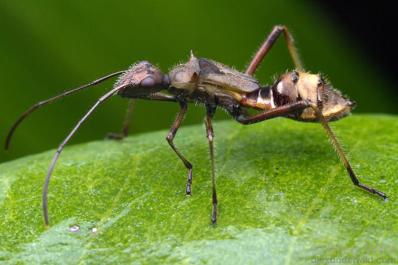 Ant Mimic Assassin Bug