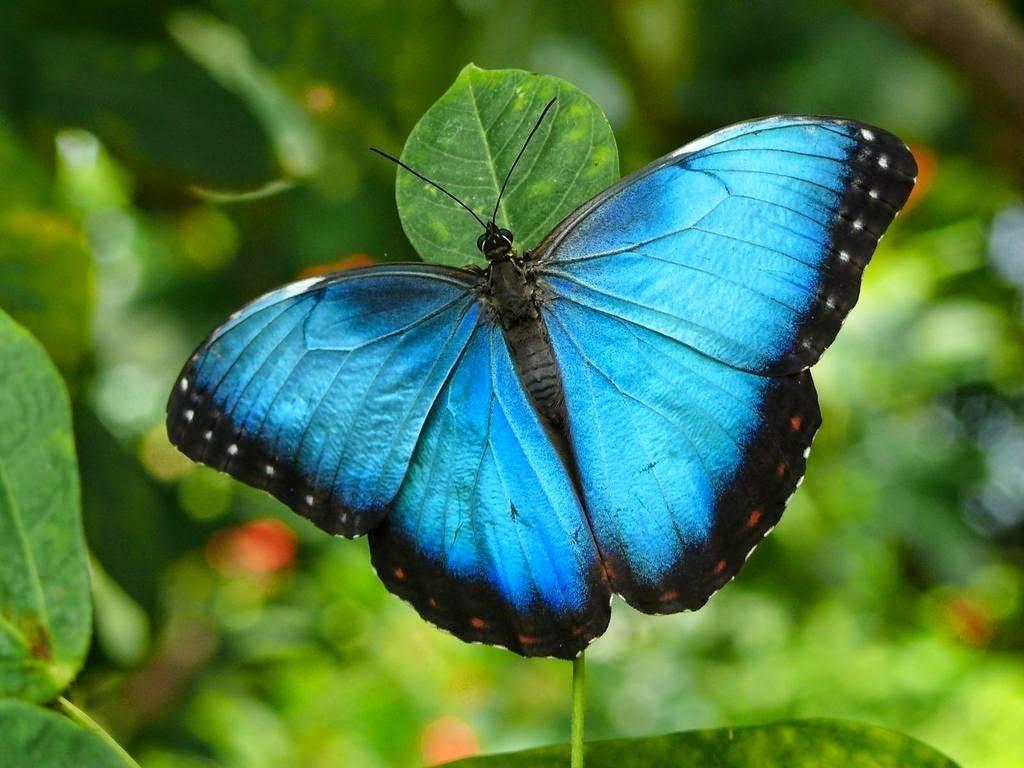 Бабочка Морфо (Blue morpho butterfly)