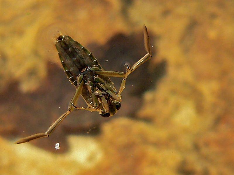 Гладыш обыкновенный (Notonecta glauca)
