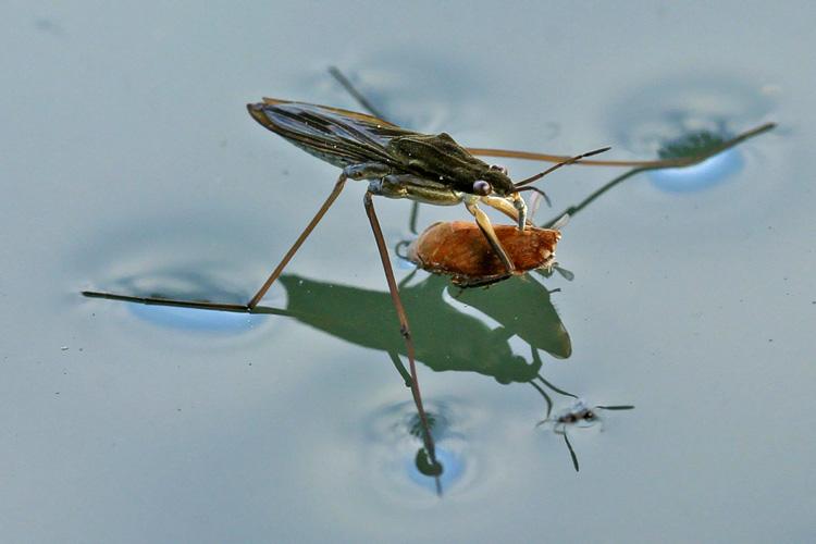 Водомерки (Common Water Strider)