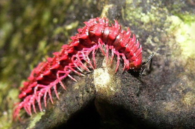 Дракон многоножка (Desmoxytes purpurosea)