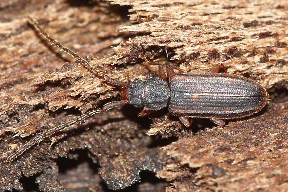 Плоские Жуки Короеды (Flat Bark Bug)