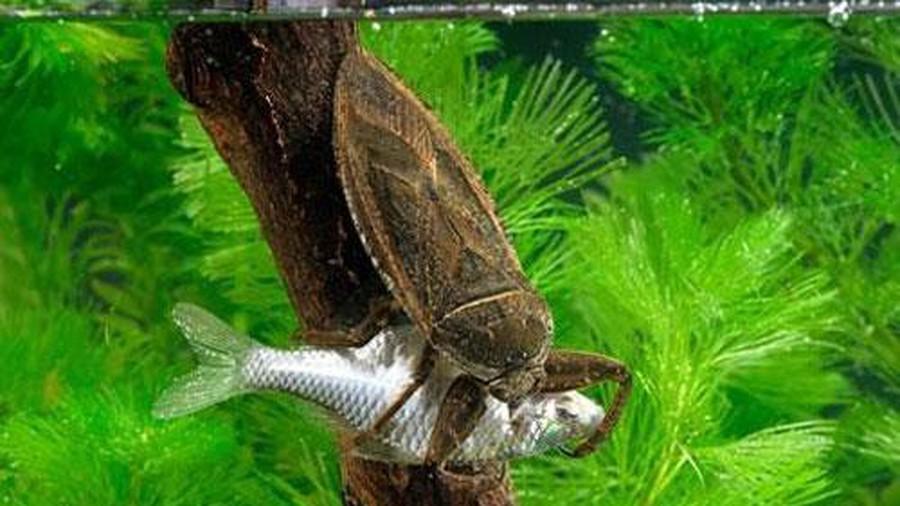 Гигантский Водяной Жук (Giant Water Bug)