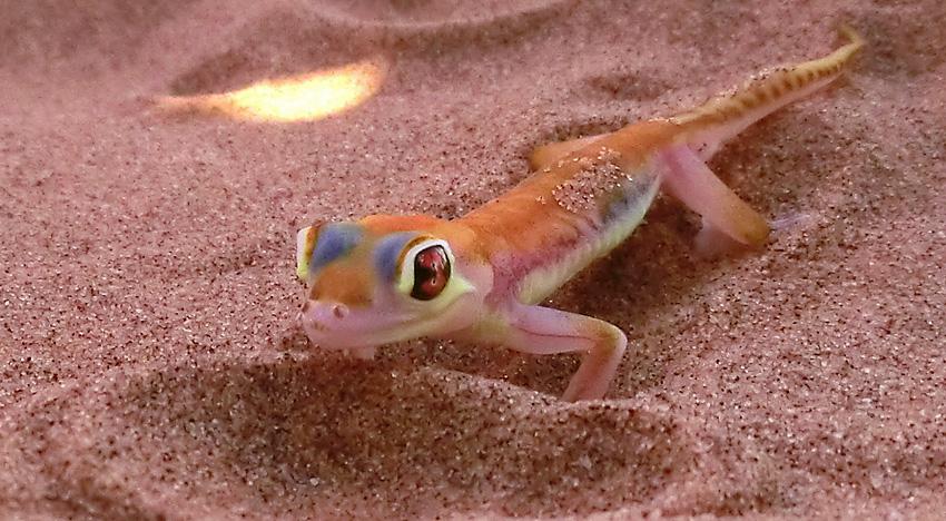 Намибийский геккон (Palmotogecko rangei)