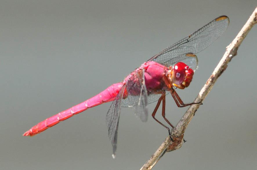 Розовая стрекоза (Orthemis ferruginea)