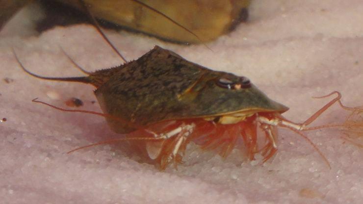 Tadpole креветки (Креветки-головастики)