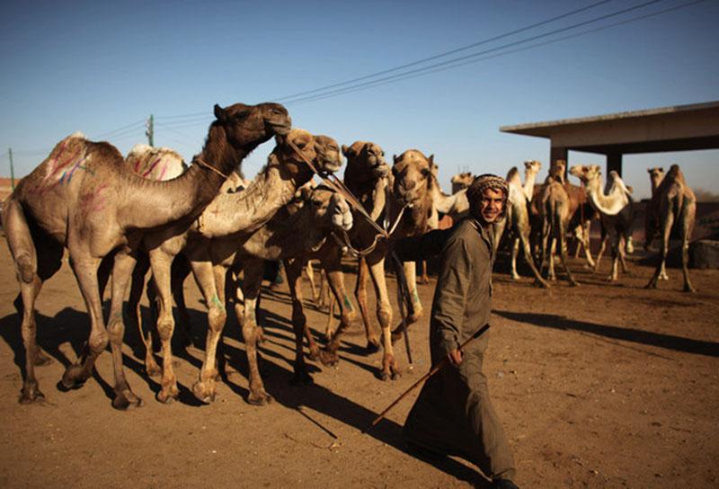 Верблюжий Рынок Биркаша, Каир