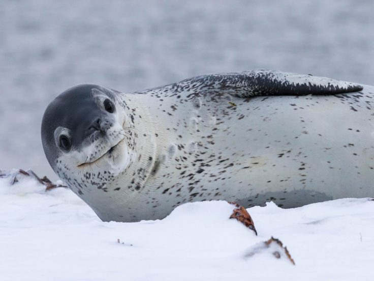 Леопардовый тюлень