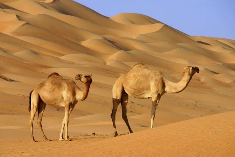 Верблюды-Дромадеры
