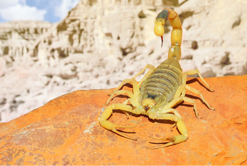 Палестинский жёлтый скорпион (Deathstalker Scorpion)