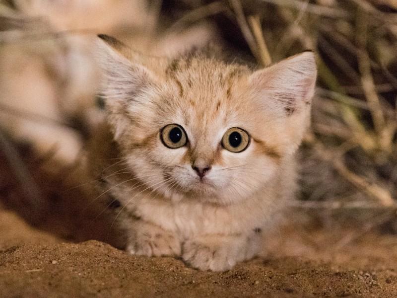 Песчаные кошки (Барханный кот)
