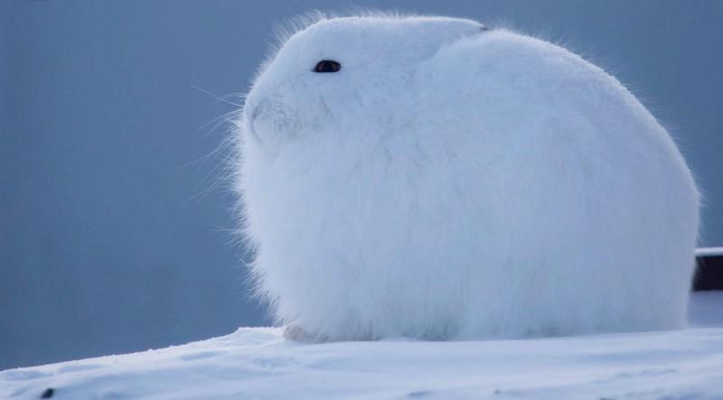Полярный (арктический) заяц
