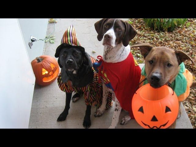 костюмы для домашних животных на хэллоуин