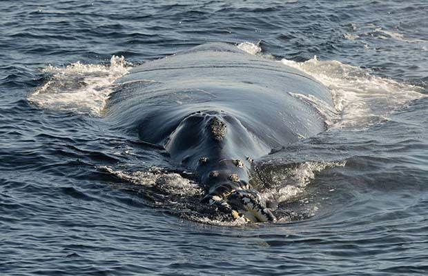 Японский кит (Eubalaena japonica)
