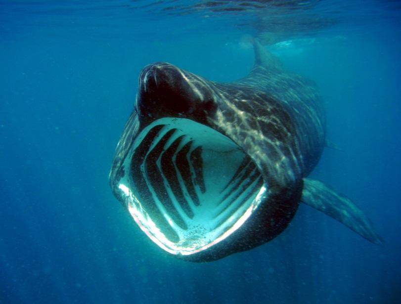 Гигантская акула (Benthic Behemoth)