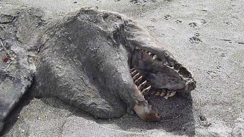 Косатка, выброшенная на берег