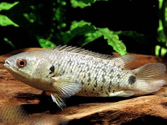 Анабас, или рыба-ползун