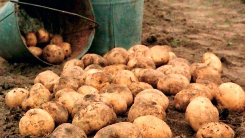 В Западной Австралии по-прежнему незаконно иметь более 50 кг картофеля