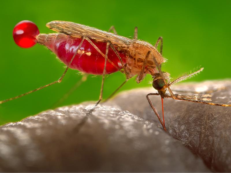 Малярийные комары (анофелесы)