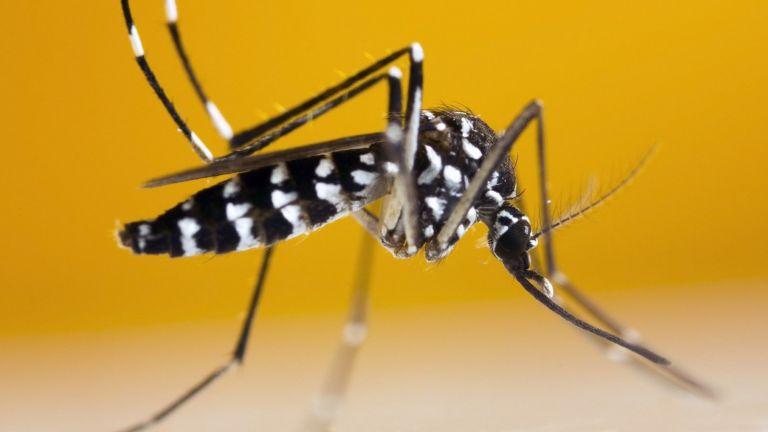 Tiger Mosquito (Aedes albopictus)