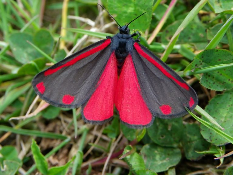 Бабочка «медведица кровавая» (Tyria jacobaeae)