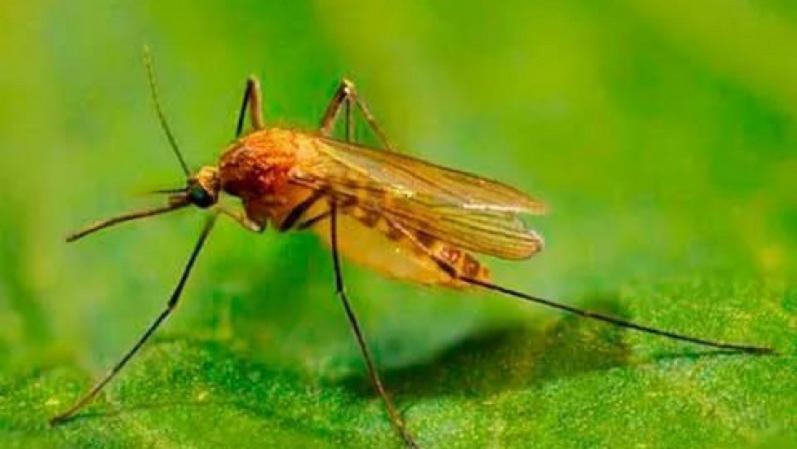Кулексы (Culex Mosquito)