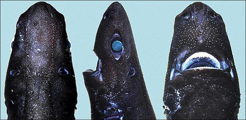 Акула нинзя (Etmopterus benchleyi)