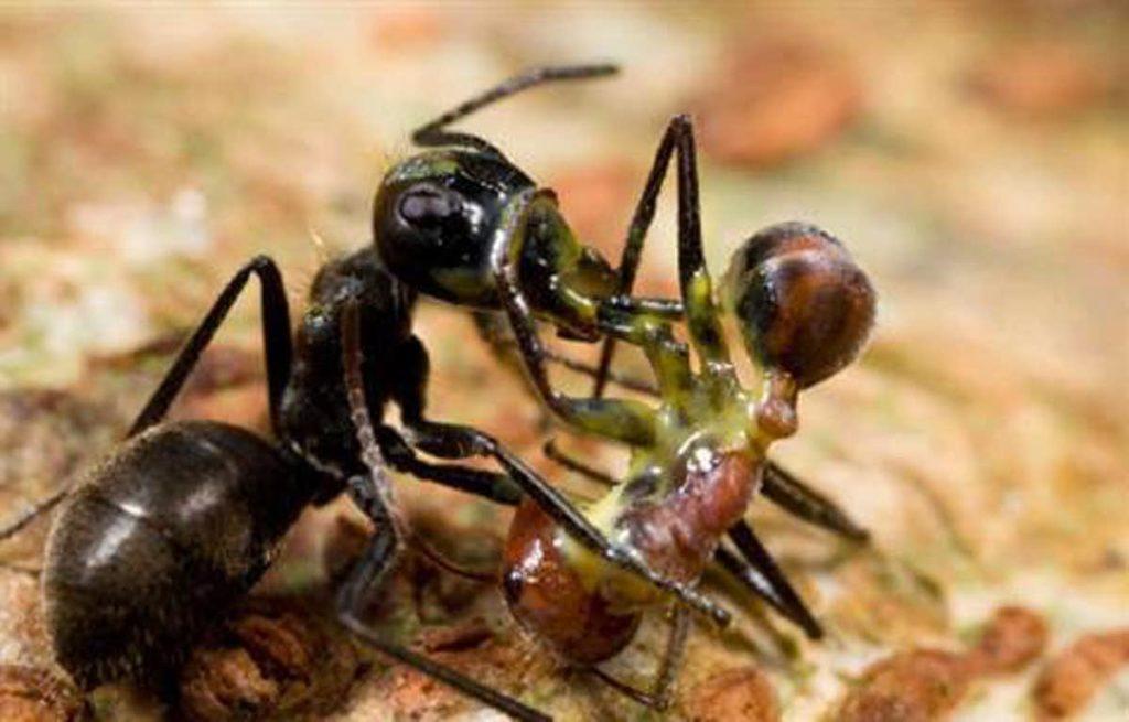 Малайский взрывающийся муравей
