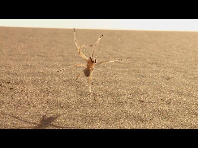 Морроканский паук-акробат (Cebrennus rechenbergi)