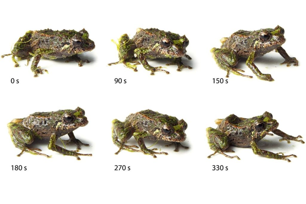 Pristimantis mutabilis (лягушка, меняющая форму)