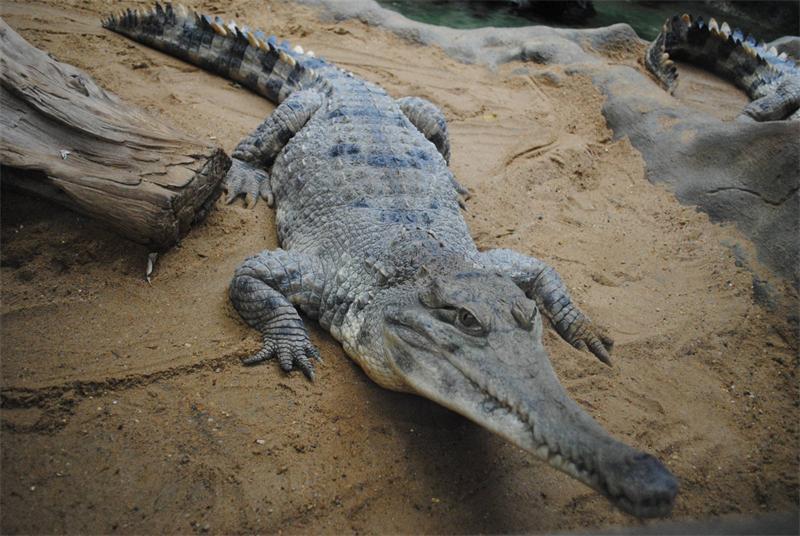 Африканский узкорылый крокодил (Mecistops cataphractus)
